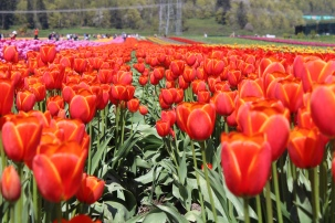 spring blooms, spring flowers, spring gardens, gardens,tulip, bloom, bloom tulip, tulip festival, abbotsford bc, explore abbotsford bc, flower field, flowers, mission bc, fraser valley flowers, fraser valley blogger, mission bc blogger, colourful, festival, tulip festival,