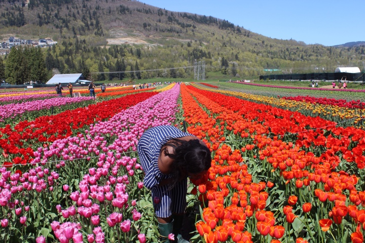 justnatoya, natoyaista,spring blooms, spring flowers, spring gardens, gardens,tulip, bloom, bloom tulip, tulip festival, abbotsford bc, explore abbotsford bc, flower field, flowers, mission bc, fraser valley flowers, fraser valley blogger, mission bc blogger, colourful, festival, tulip festival,