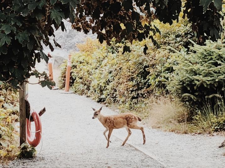 Ucluelet, tourism ucluelet, tourism tofino, wild pacific trail, ocean, beach, pacific ocean, deer, wild deer, doe,